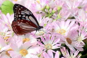 ピンクの花にとまる蝶の写真素材 [FYI00262308]