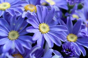 青のシネラリアの写真素材 [FYI00262309]