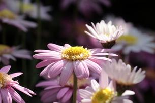 ピンクの花の写真素材 [FYI00262311]