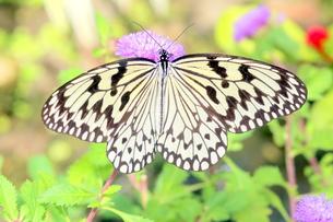紫の花にとまる蝶の写真素材 [FYI00262312]