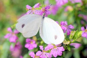 ピンクの花にとまる蝶の写真素材 [FYI00262313]