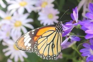 紫の花にとまる蝶の写真素材 [FYI00262317]