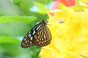 黄色の花にとまる蝶の写真素材 [FYI00262320]