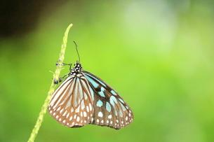 枝にとまる蝶の写真素材 [FYI00262324]