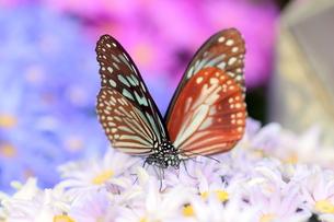 花にとまる2匹の蝶の写真素材 [FYI00262325]