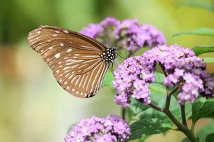 紫の花にとまる蝶の写真素材 [FYI00262328]