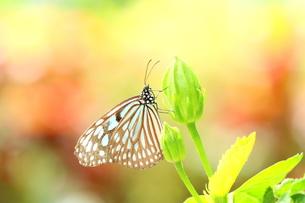蕾にとまる蝶の写真素材 [FYI00262333]