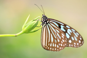 つぼみにとまる蝶の写真素材 [FYI00262338]