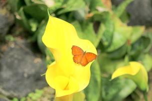 カラーにとまる蝶の写真素材 [FYI00262341]