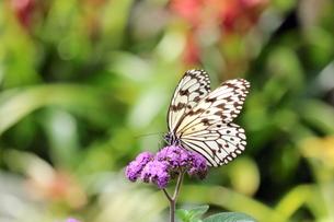 紫の花にとまる蝶の写真素材 [FYI00262343]