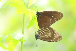 2匹の蝶の写真素材 [FYI00262351]