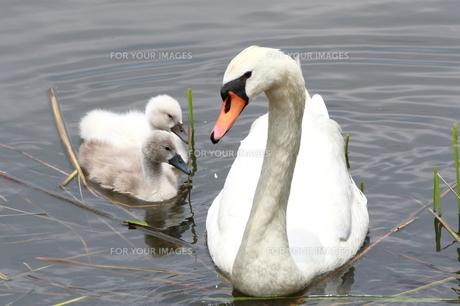 子を守る白鳥の写真素材 [FYI00262637]