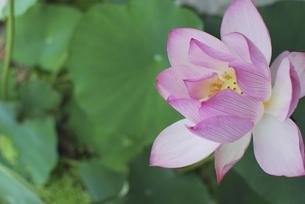 蓮の花(ロータス)の写真素材 [FYI00262645]