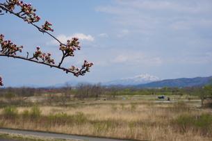 春を待つ桜の蕾の写真素材 [FYI00262797]