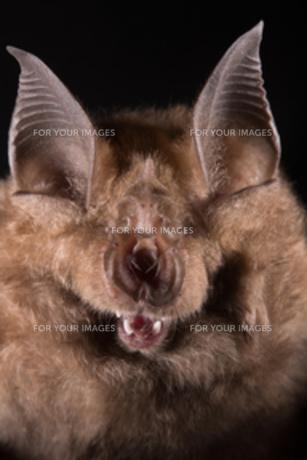 キクガシエアコウモリの顔の写真素材 [FYI00262900]