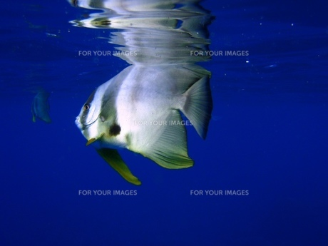 青い海を泳ぐ魚〜ツバメウオ〜の写真素材 [FYI00263023]