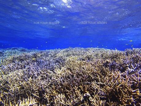 鮮やかな珊瑚の森の写真素材 [FYI00263031]
