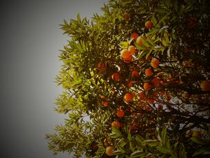 夏みかんの木を見上げての写真素材 [FYI00263044]