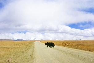 チベットの道を渡るヤクの写真素材 [FYI00263169]