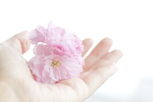 手に持った桜の花の写真素材 [FYI00263172]