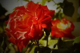 バラの花の写真素材 [FYI00263236]