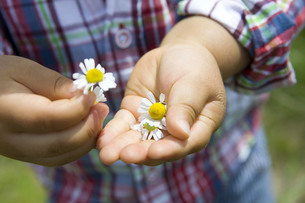 手のひらの花の写真素材 [FYI00263261]