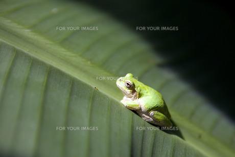 葉に止まったカエルの写真素材 [FYI00263504]