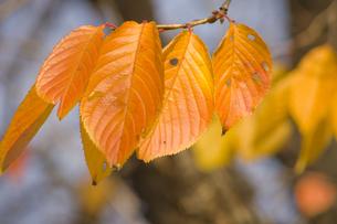 鮮やかな枯れ葉の素材 [FYI00263611]