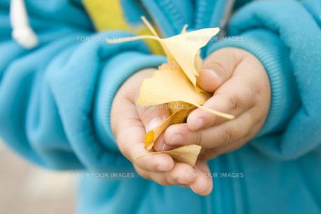 子供の手に持ったイチョウの素材 [FYI00263788]