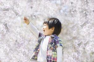 満開の桜と指差す子供の写真素材 [FYI00264304]