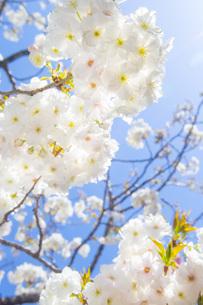 満開の桜と青空の写真素材 [FYI00264674]
