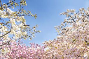 満開の桜と青空の写真素材 [FYI00264678]