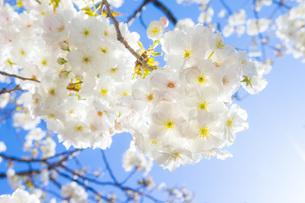 満開の桜と青空の写真素材 [FYI00264680]