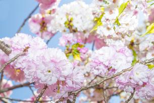 満開の桜の写真素材 [FYI00264682]