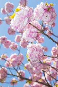 満開の桜の写真素材 [FYI00264683]