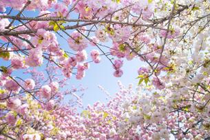 満開の桜の写真素材 [FYI00264684]