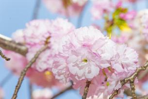 満開の桜の写真素材 [FYI00264687]