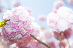桜の写真素材 [FYI00264688]