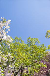 新緑と春の青空の写真素材 [FYI00264691]