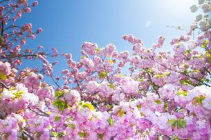 満開の桜と青空の写真素材 [FYI00264692]