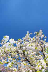 桜と青空の写真素材 [FYI00264693]
