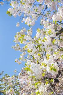 桜と青空の写真素材 [FYI00264694]