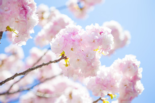 満開の桜の写真素材 [FYI00264695]