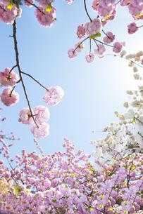 満開の桜と青空の写真素材 [FYI00264696]