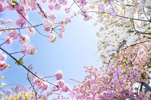 満開の桜と青空の写真素材 [FYI00264697]