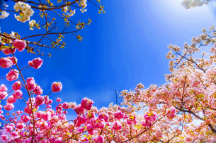 満開の桜と青空の写真素材 [FYI00264698]