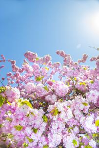 満開の桜と青空の写真素材 [FYI00264699]