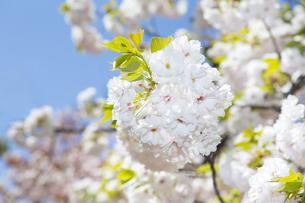 桜の写真素材 [FYI00264700]