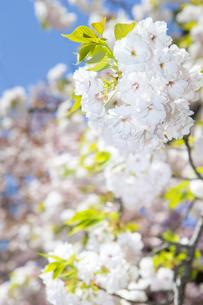 桜の写真素材 [FYI00264701]