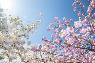 満開の桜と青空の写真素材 [FYI00264702]